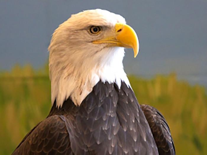 Angel,a bald eagle at the National Eagle Center.