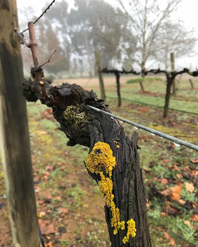 Winter morning inspection of the Shiraz vines. #shiraz #wine #grapes #Vintage19 #winter #wahgunyah