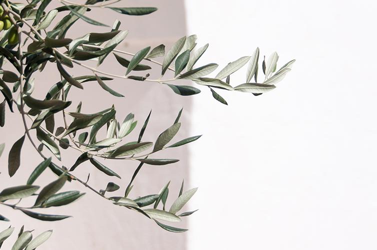 Olive Trees of Puglia © Renae Smith