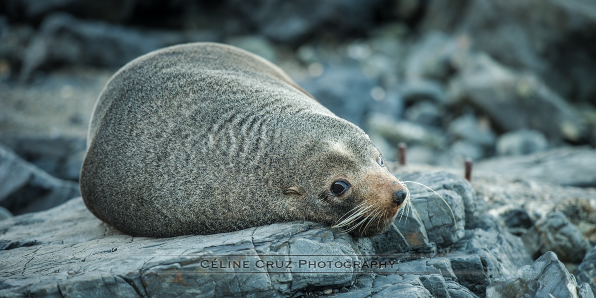 Puppy seal resting in Sinclair Head