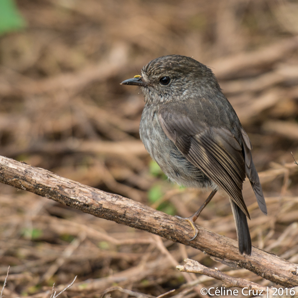 New Zealand Robin / Toutouwai