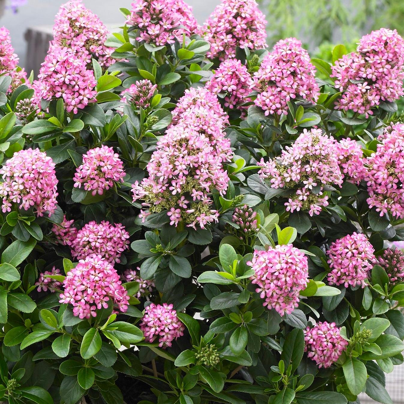 Escallonia-leavis-%E2%80%98Lades%E2%80%99-Pink-Elle-photo-Plantipp.jpg