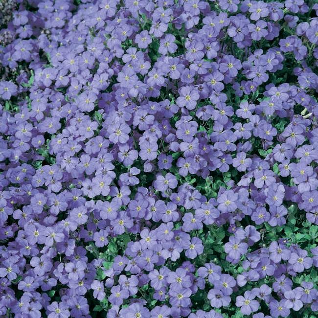 Aubrieta+blue+lilac.jpg