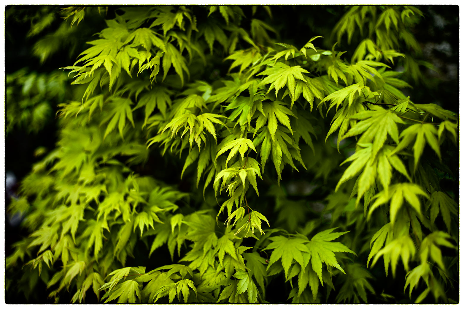 It's great when everything starts coming out in the garden, our Acer is going a storm.