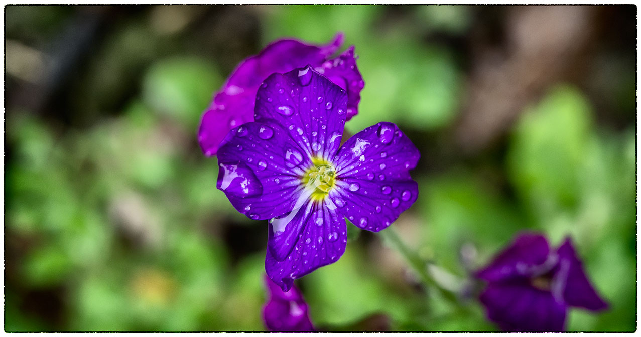 A rainy, miserable day, but it doesn't stop the flowers from being beautiful, it adds to it.