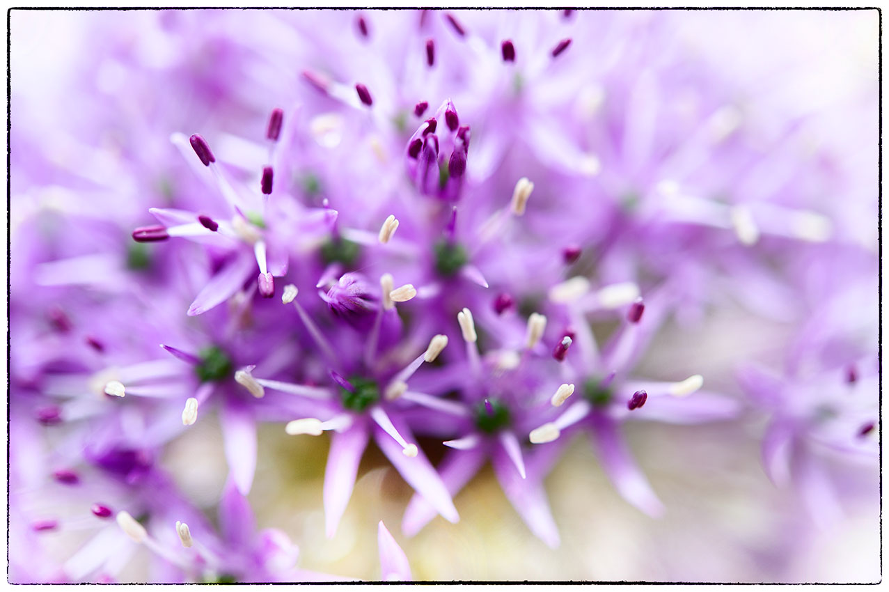 The Alium are well and truly out. Love the way they can be so abstract.