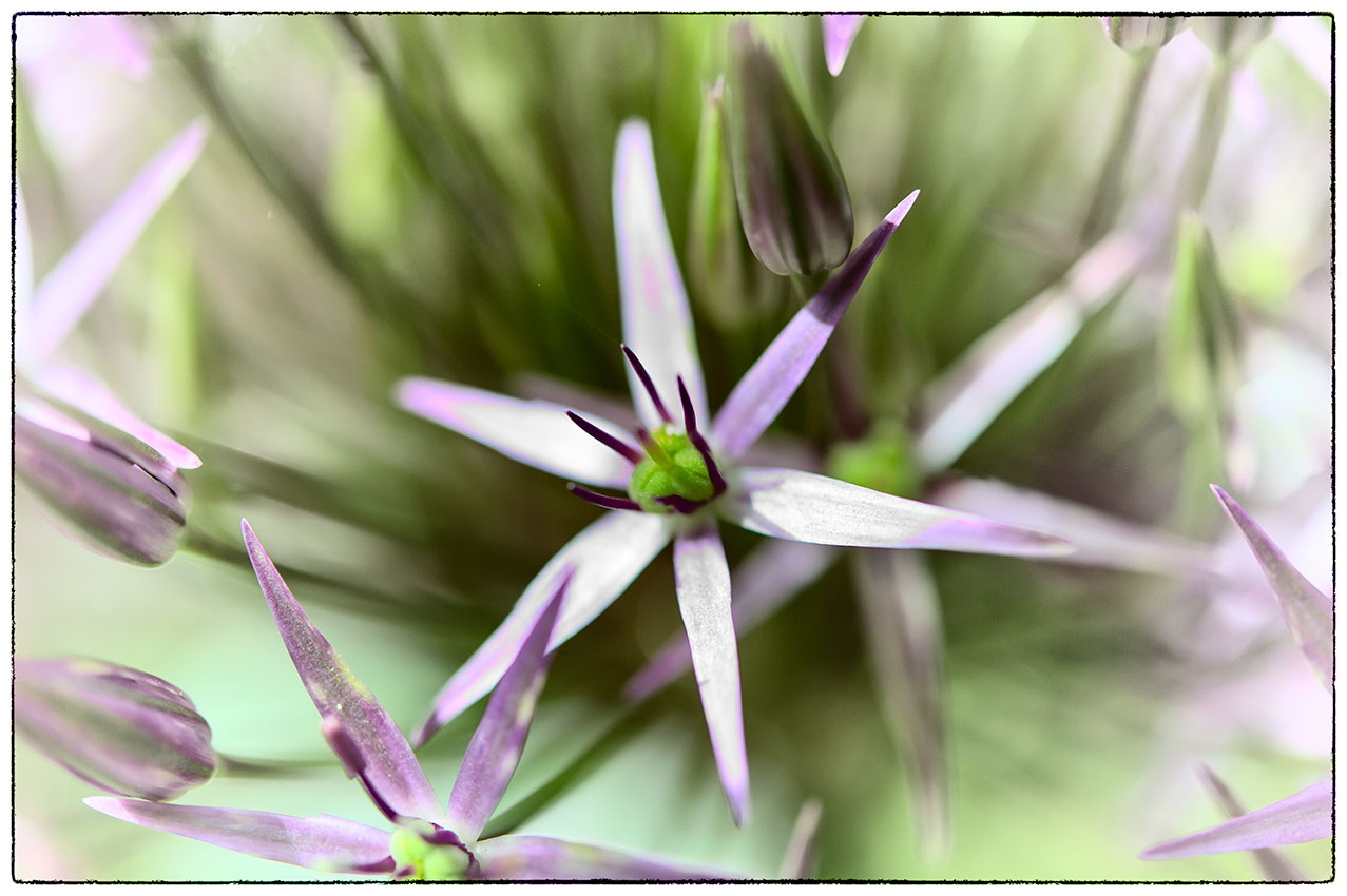 Part of one of our large allium flowers.