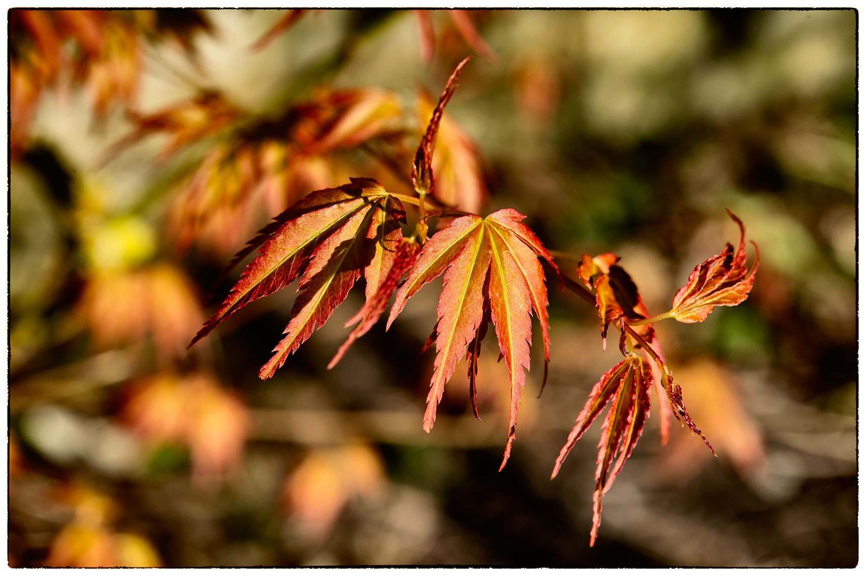 Our lovely Acer is back in leaf. Don't you just love Acers.