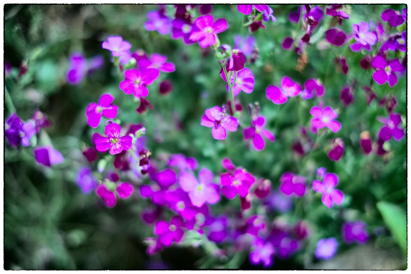 Aubretia, a vision in purple.