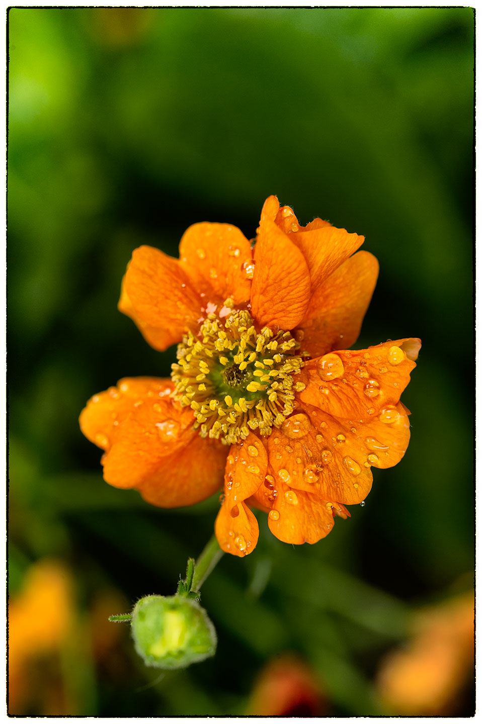 Not too sure what this flower is called or whether it's the best specimen, but I liked the rain drops.