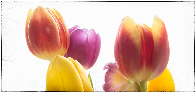 Tulips_7864.jpg