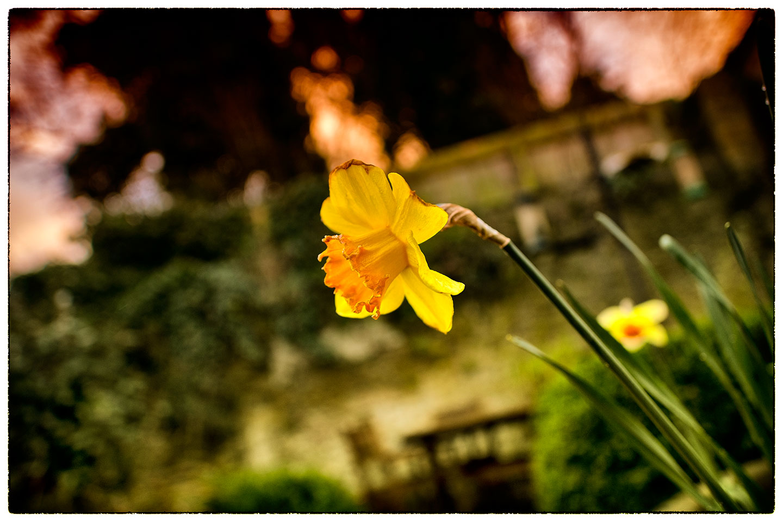 Daffodil_7943.jpg