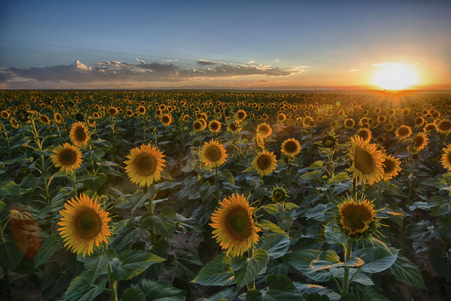 sunflowers-sunset.jpg