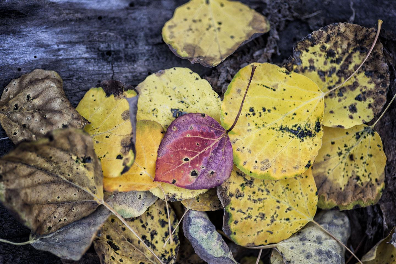 colorado-autumn-aspens21.jpg