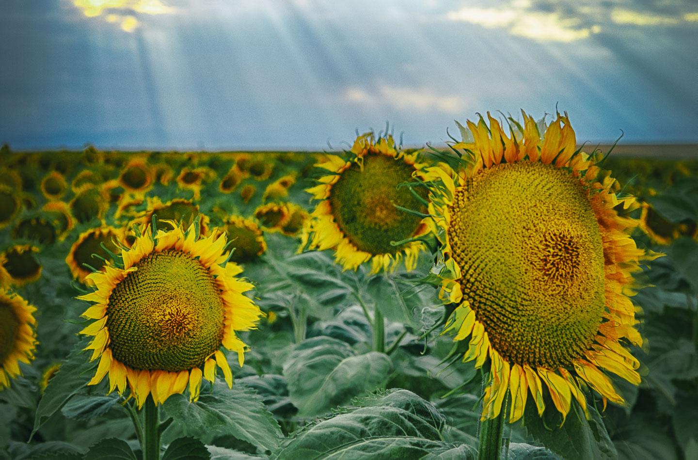 colorado-sunflower-fields-08.jpg