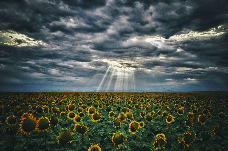 colorado-sunflower-fields-10.jpg