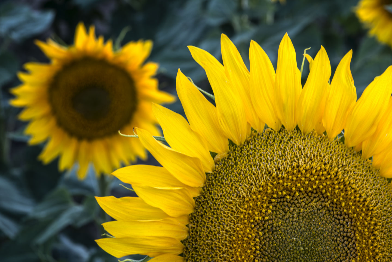 colorado-sunflower-fields-17.jpg