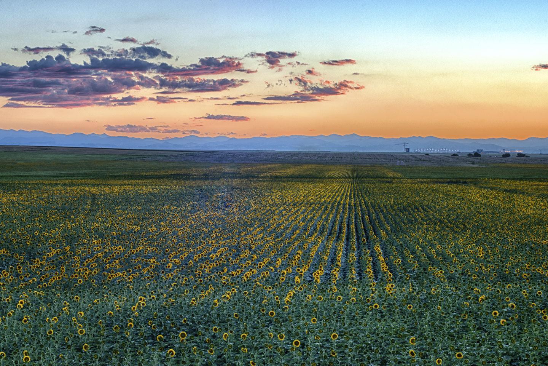 colorado-sunflower-fields-19.jpg