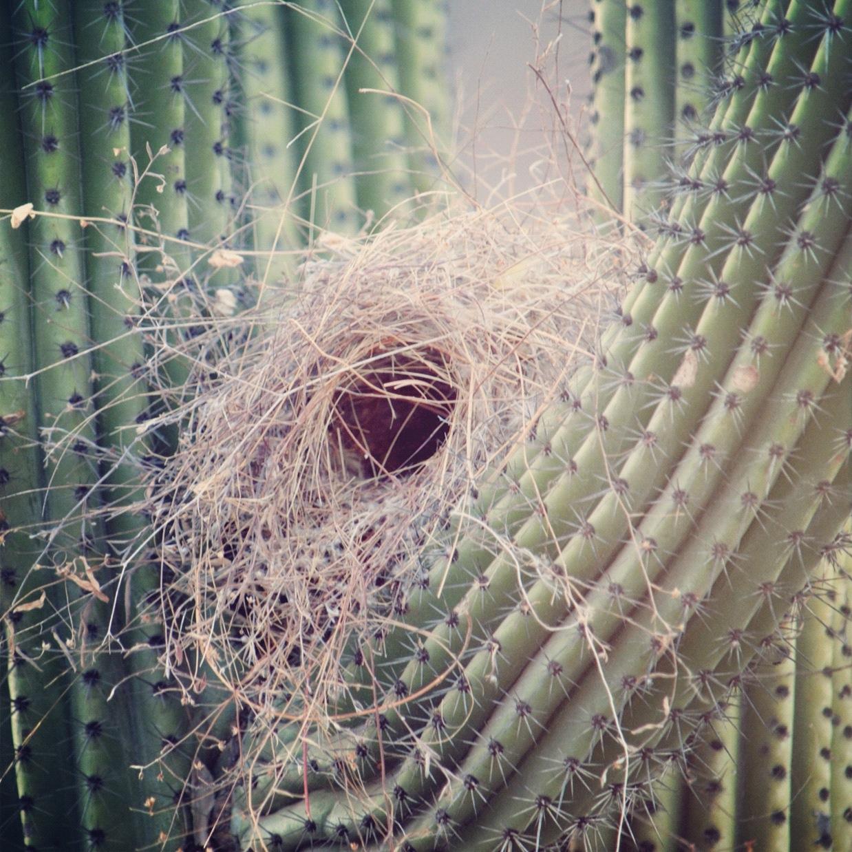 nest in cactus.JPG