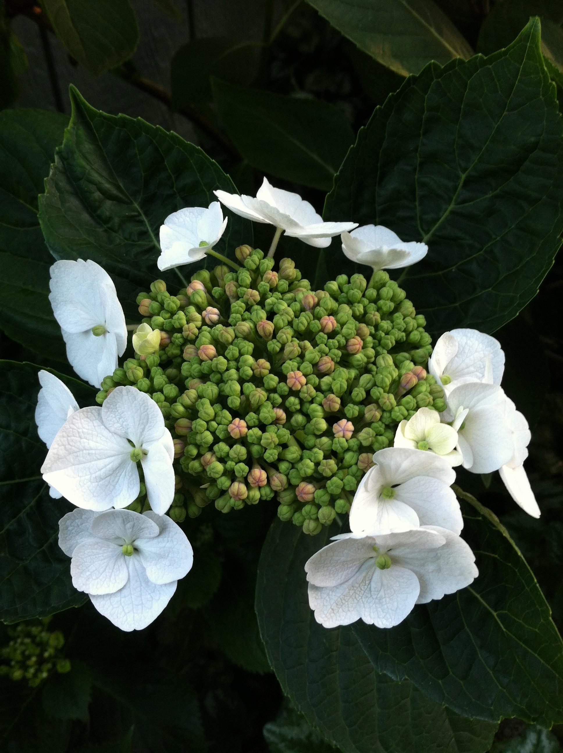 hydrangea blooming.jpg