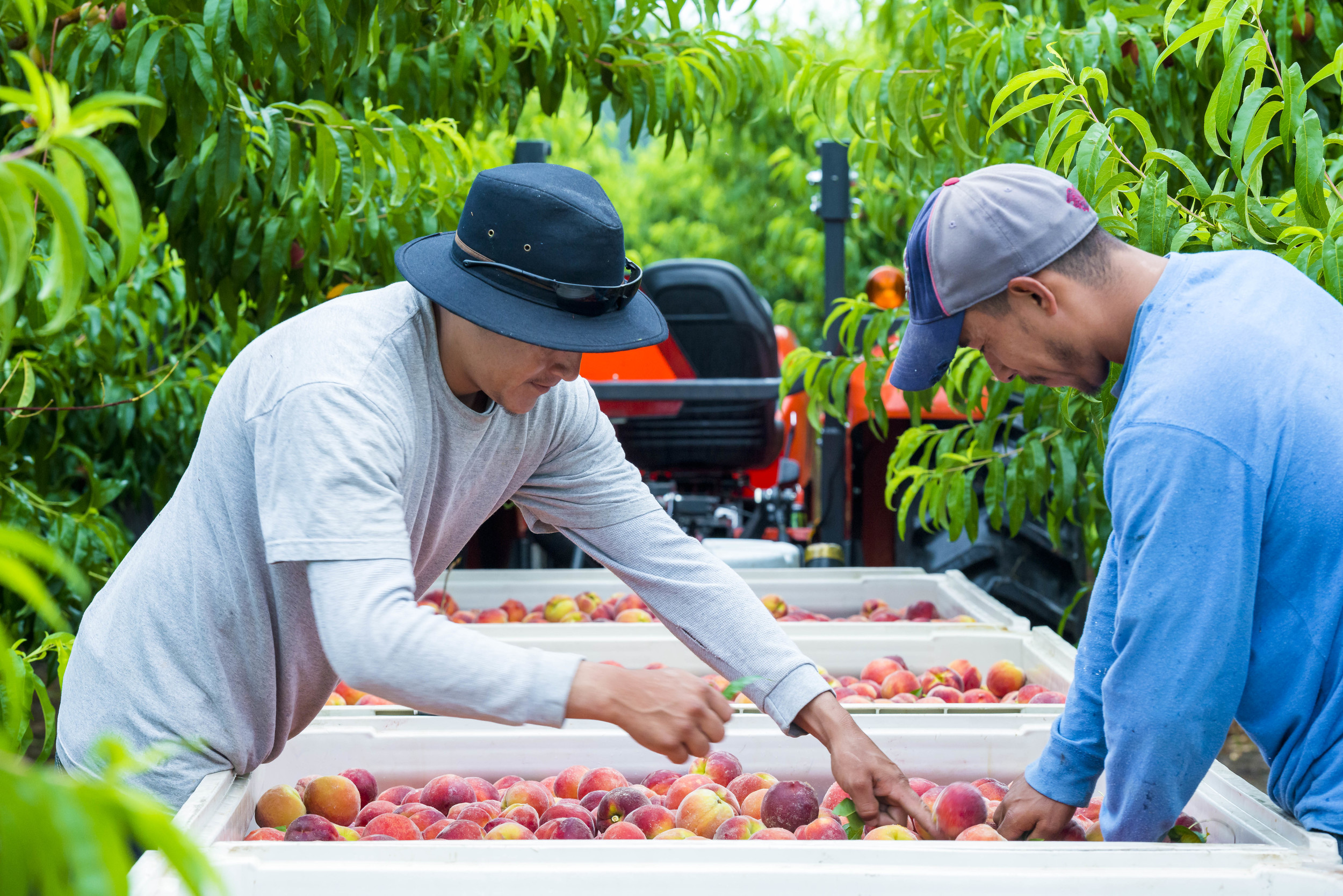 Prepping the peaches