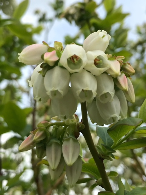 Blueberry blossoms from this season's crop