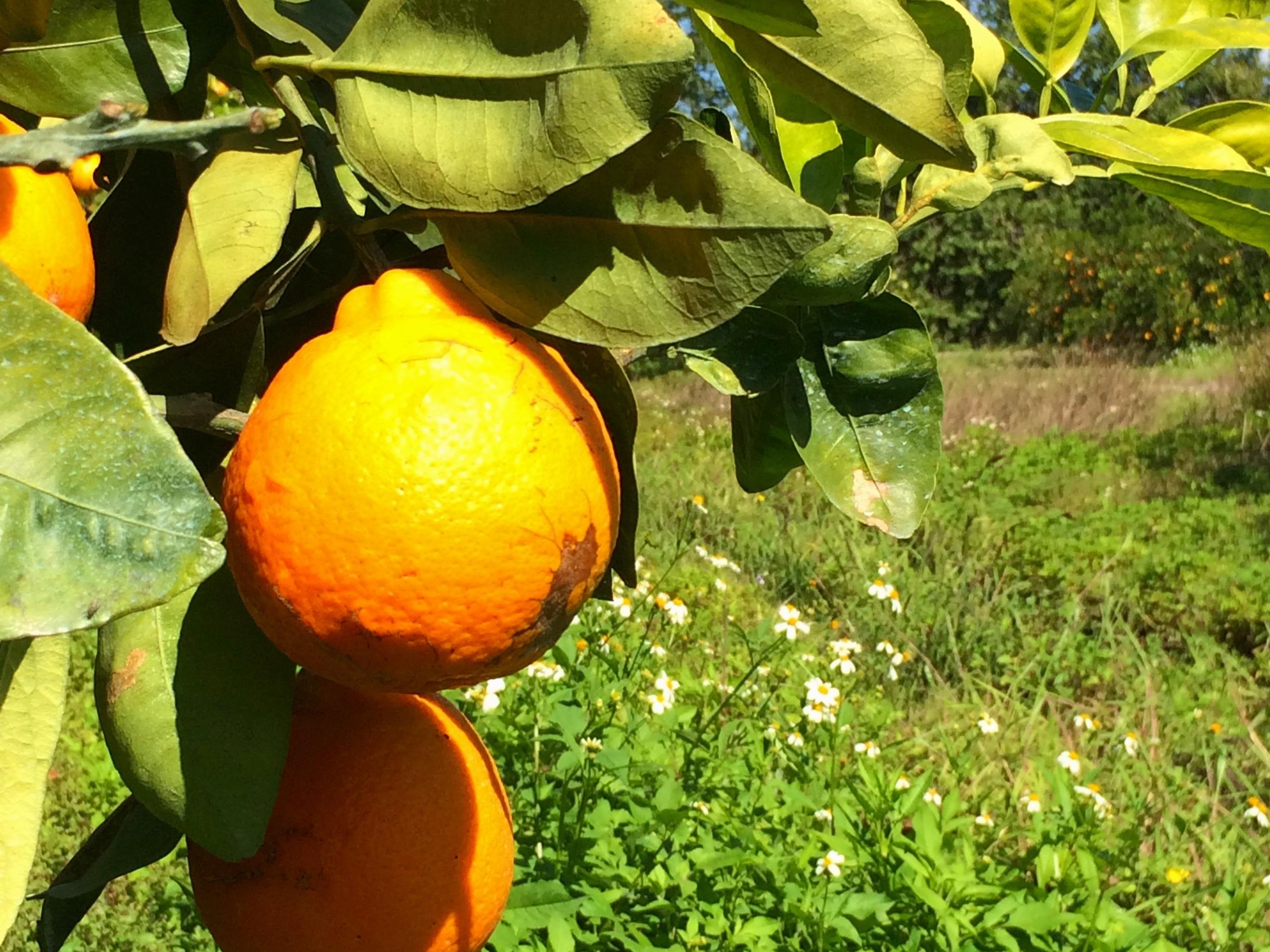 The unique Honeybell! - Many citrus lovers have never heard of a Honeybell before. If you've never tried a Honeybell you're missing out on one of the most unique varieties of citrus around! This variety is a Minneola Tangelo, nicknamed