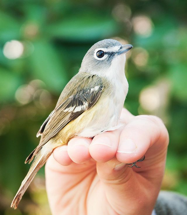Blue-headed Vireo... such simple beauty!  We've now banded 15 of these lovelies so far this spring, which is well above the seasonal average! Check out @manometbanding for more info ✨