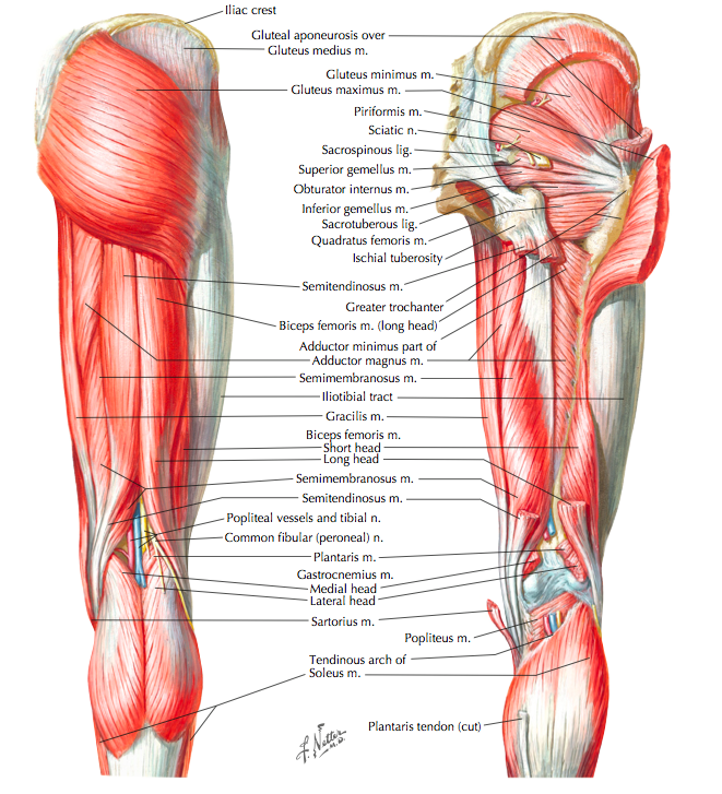 Posterior muscles of the hip and thigh (Cleland, 2005, p. 249)