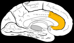 Anterior cingulate cortex (ACC) courtesy of Google Images.