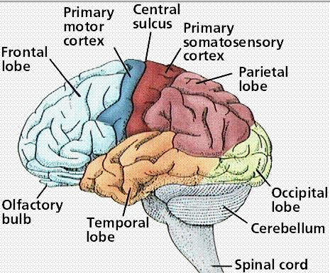 Primary and secondary somatosensory cortex