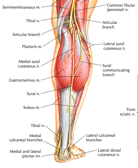 Muscle and nerves of the posterior lower limb (Cleland, 2005, p. 294).