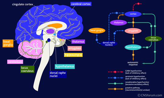 Image courtesy of Google Images, retrieved September 10th 2015 https://www.cnsforum.com/educationalresources/imagebank/brain_struc_anxiety/neuro_biol_gad_2