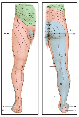 Figure 1: Distribution of dermatomes (Hancock, 2011)