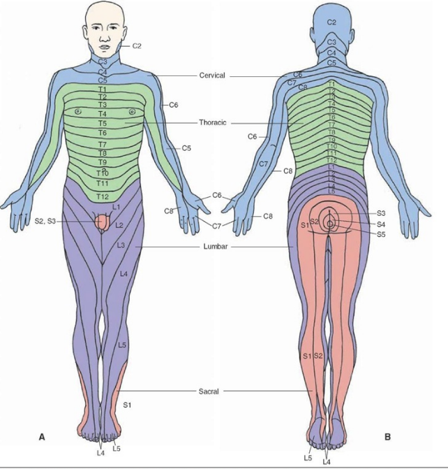 Dermatomes for the lower limb (courtesy of  Google Images )