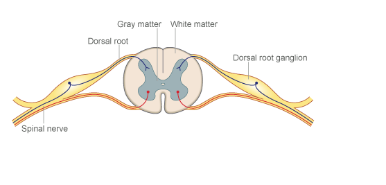 In cervical radiculopathy pain is caused by compression and involvement of the dorsal root ganglion (outside the spinal cord) ( Google images )