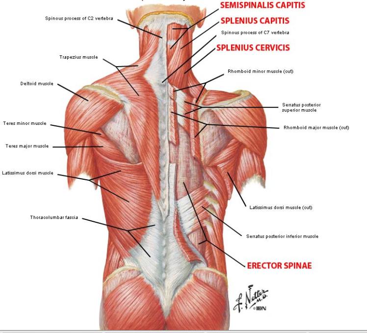 Semispinalis capitus