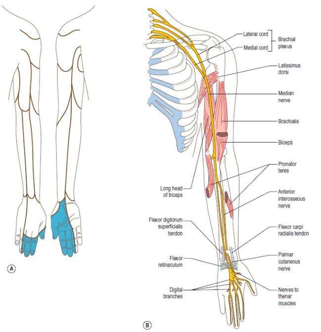 Motor and sensory innervation of the median nerve courtesy of  Google Images
