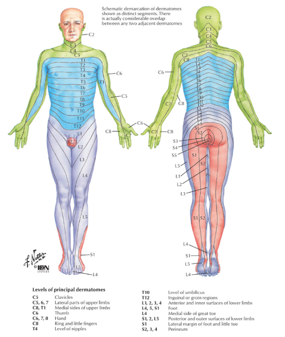 Dermatome map of the body. Image source:  Google Images