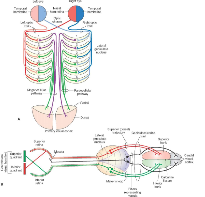 Layers of the lateral geniculate nucleus in processing monocular and binocular vision   http://what-when-how.com/wp-content/uploads/2012/04/tmp15F63.jpg