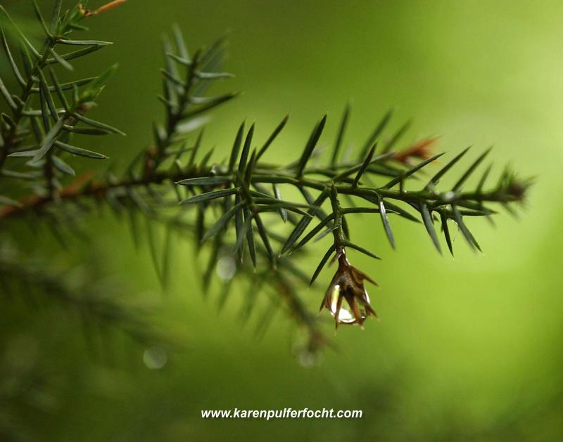 Pine Drops.JPG