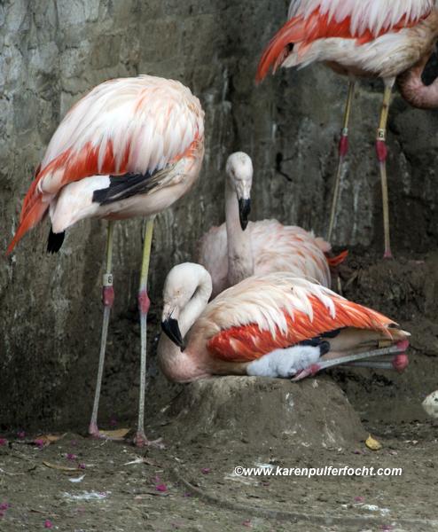 ©FOCHT Flamingo Baby01.JPG
