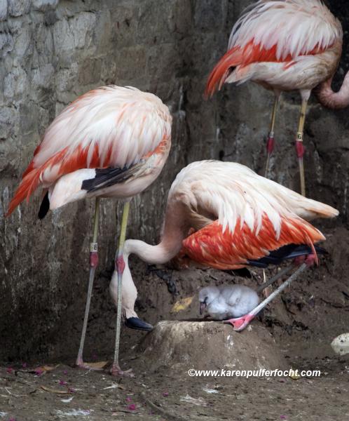 ©FOCHT Flamingo Baby02.JPG