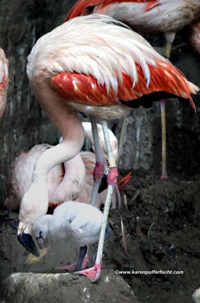 ©FOCHT Flamingo Baby03A.JPG
