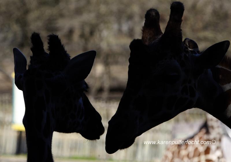 © FOCHT- Baby Giraffe 316eA.JPG