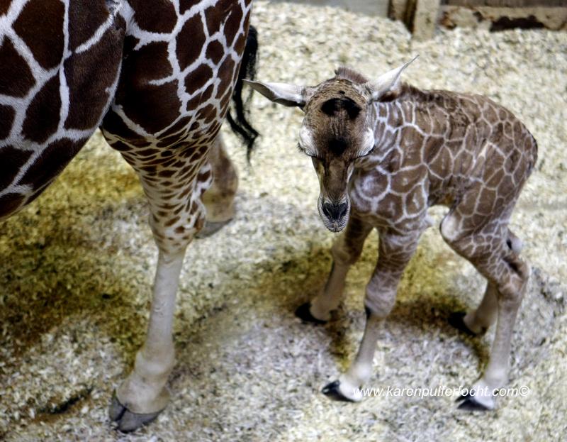 © FOCHT- Baby Giraffe 316fA.JPG