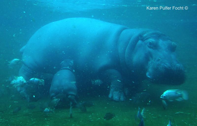 Focht Baby Hippo 07.JPG