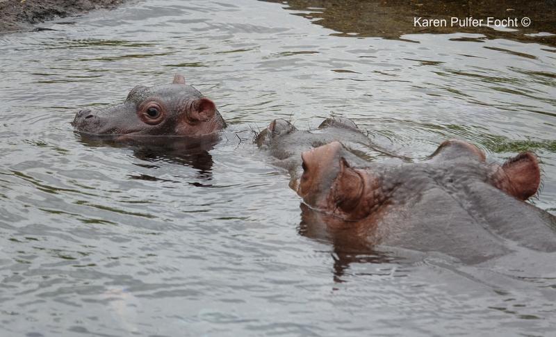 Focht Baby Hippo 05.JPG
