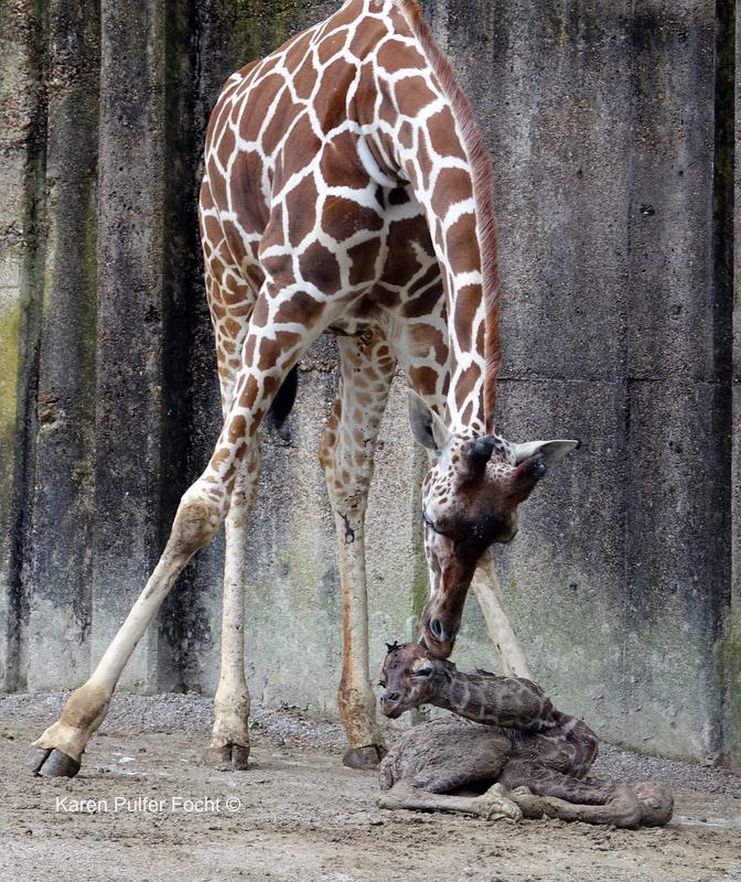 ©Focht- Baby Giraffe 04032017- 006.JPG