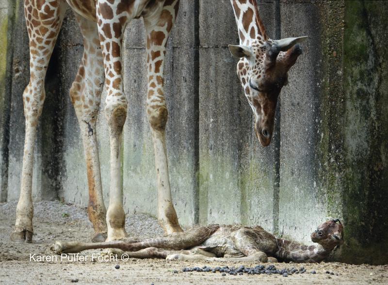 ©Focht- Baby Giraffe 04032017- 076.JPG